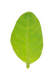 Foglia rustica del tabacco isolata su bianco Fotografia Stock Libera da Diritti