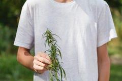 Foglia sativa della cannabis della tenuta della mano Immagine Stock