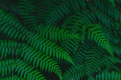 Foglia sbiadita felce tropicale botanica scura del fondo fotografia stock libera da diritti