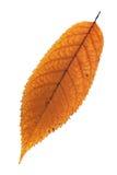 Foglia sbiadita isolata della ciliegia Fotografie Stock