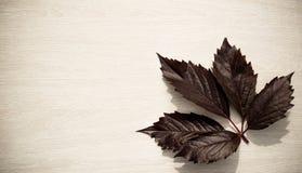 Foglia scura dell'uva in un angolo su un bordo di legno leggero in un sole Immagine Stock