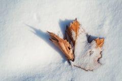 Foglia secca di Mapple in neve - stagioni cambianti Immagine Stock