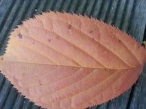 Foglia secca di marrone scuro isolata Fotografia Stock