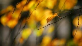 Foglia sola della betulla in autunno fotografia stock libera da diritti