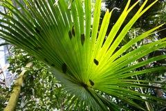 Foglia soleggiata della livistona australiana della palma dell'albero di cavolo australe Fondo tropicale Fotografia Stock Libera da Diritti