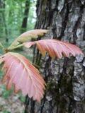 Foglia su un albero Fotografie Stock Libere da Diritti