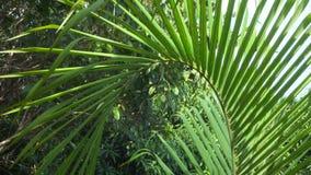 Foglia Tremling della palma in vento archivi video