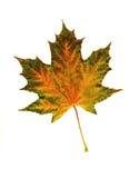 Foglia tricolore vibrante luminosa di autunno Fotografia Stock