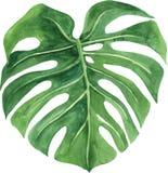 Foglia tropicale del monstera Illustrazione dipinta a mano dell'acquerello isolata su fondo bianco royalty illustrazione gratis