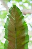 Foglia tropicale verde Fotografie Stock