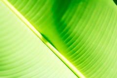 Foglia tropicale verde fresca della banana isolata su fondo bianco, percorso fotografia stock libera da diritti