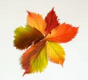 Foglia variopinta di autunno Fotografie Stock
