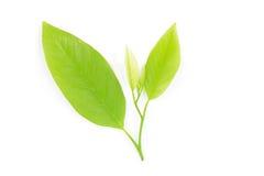 Foglia verde Immagine Stock