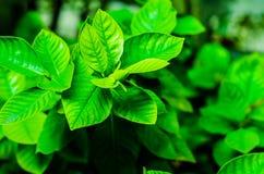 Foglia verde. Fotografia Stock Libera da Diritti