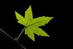 Foglia verde Fotografie Stock
