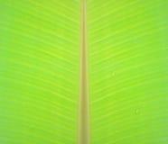 Foglia verde chiaro della banana con struttura Fotografia Stock
