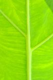 Foglia verde come fondo Immagine Stock