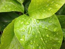 foglia verde con acqua di goccia Immagini Stock