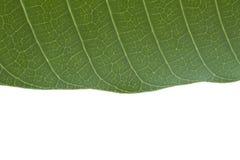 Foglia verde con fondo isolato e spazio per testo qui sotto Fotografie Stock Libere da Diritti