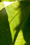 Foglia verde con i dettagli della vena Fotografie Stock