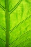 Foglia verde con i gocciolamenti dell'acqua Immagini Stock