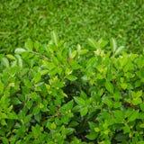 Foglia verde con il fondo dell'erba verde Fotografia Stock