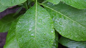 Foglia verde con il metraggio delle azione del fondo della natura delle gocce di acqua Una foglia di verde vivo nella fine di mac stock footage