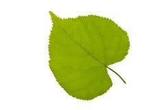 Foglia verde con la lampadina su fondo bianco Immagini Stock