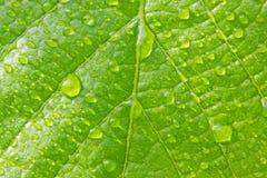 Foglia verde con le gocce di acqua Fotografia Stock Libera da Diritti