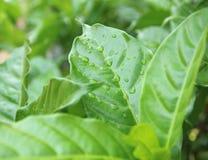 Foglia verde con le gocce di acqua per fondo Immagine Stock Libera da Diritti