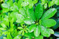 Foglia verde con le gocce di acqua per fondo Fotografie Stock Libere da Diritti
