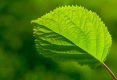 Foglia verde con Veinlet Fotografie Stock