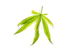 Foglia verde dei canabis su fondo bianco Fotografie Stock Libere da Diritti