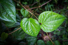 Foglia verde del betel Fotografie Stock