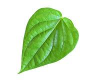 Foglia verde del betel isolata su fondo bianco Immagini Stock