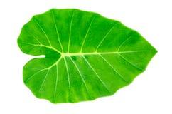 Foglia verde del Caladium, orecchio di elefante Fotografie Stock Libere da Diritti