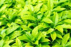 Foglia verde del cespuglio Fotografia Stock Libera da Diritti