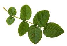 Foglia verde del cespuglio di rose isolata su backgr bianco Immagine Stock Libera da Diritti