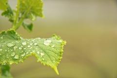 Foglia verde del cetriolo fotografia stock libera da diritti