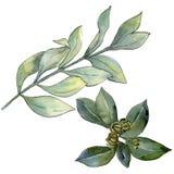 Foglia verde del legno di bosso Fogliame floreale del giardino botanico della pianta della foglia Immagine Stock