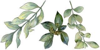 Foglia verde del legno di bosso Fogliame floreale del giardino botanico della pianta della foglia Fotografie Stock Libere da Diritti
