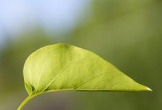 Foglia verde del lillà Fotografia Stock