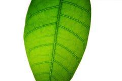 Foglia verde del mango Fotografie Stock