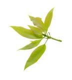 Foglia verde del mango isolata su fondo bianco Immagine Stock Libera da Diritti