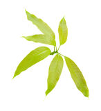Foglia verde del mango isolata su fondo bianco Fotografie Stock