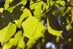 Foglia verde del tiglio backlit dal sole Immagini Stock Libere da Diritti