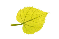 Foglia verde del tiglio comune isolata su bianco Immagini Stock