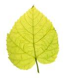 Foglia verde del tiglio comune isolata su bianco Fotografia Stock Libera da Diritti