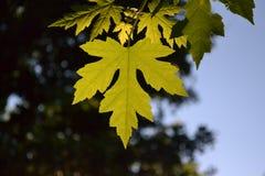 Foglia verde dell'albero Immagine Stock