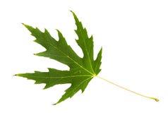 Foglia verde dell'albero di acero isolata su backg bianco Fotografia Stock Libera da Diritti